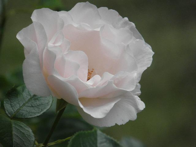 rose ouverte